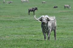 Buffalo (Robert Styppa) Tags: tanzania nikon nikond850 robertstyppa africa wildlife serengeti ngorongoro africanbuffalo buffalo