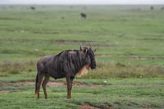 Gnu (Robert Styppa) Tags: tanzania nikon nikond850 robertstyppa africa wildlife serengeti ngorongoro streifengnu bluewildebeest