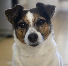 Daisy (red_sea321) Tags: jack russell terrier