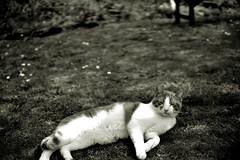 Cat resting on a hot day. (robertwaynelester) Tags: cat cats lawn grass blur cute