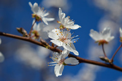 Snow White (Alexandra Horvath) Tags: nature outdoor garden tree blossom plant branch flowers bokeh depthoffield nikon nikond3200 spring hungary