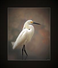 Regal (John's Love of Nature) Tags: snowyegret egrettathula canon canonef70300mmf456lisusm canoneos50d framed outdoor nature johnkelley johnsloveofnature wildlife wildlifeart