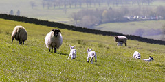 Lambs (ca2cal) Tags: england northumberland bardon mill bardonmill animal sheep lamb dof wall spring website