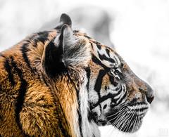 Tiger portrait (MAICN) Tags: portrait wildlife tiger nature burgerszoo zoo tier 2019 natur animal