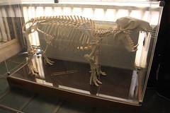 Squelette Hippopotame Pigmé (Sp6mEn Pics) Tags: taxidermie animaux empaillés disparus vivants lille france hautsdefrance nord lynx araignée loup dinosaure oiseau squelettes mammifère marin momie insects