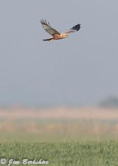 Marsh Harrier 1-3 (Jims Fotos) Tags: 14extender april2019 canon ef600f4 eos7dmk2 elmley induro kent nature