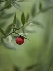 Fragon petit-houx **--- °-° (Titole) Tags: berry red green shallowdof titole nicolefaton ruscusaculeatus fragonpiquant épinederat buispiquant fragonnette gringon vergandier houxfrelon butchersbroom thechallengefactory challengeyouwinner cyunanimous