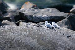 You sleep, I'll have the watch (JarkkoS) Tags: 70200mmf28efledvr animal bird boat boating couple d500 finland love porvoo seagull söderskär tc17eii uusimaa
