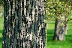 The old fruit tree (weidegruen) Tags: fruit obst baum old alt obstbäume kulturlandschaft rinde