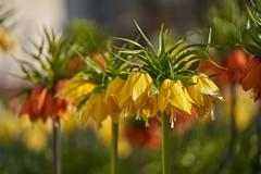 Fritillaria imperialis (ivoräber) Tags: kaiserkrone blumen flower flowers floristic florist sony switzerland schweiz swiss systemkamera voigtlander voigtländer 110mm