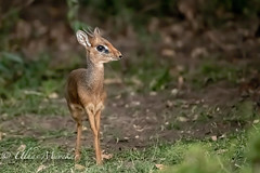 Dik Dik (mayekarulhas) Tags: dik antilope animal africa safari masaimara canon canon500mm canon1dxmark2 herbivore