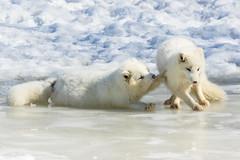 Arctic fox kits playing and sliding on ice (dwb838) Tags: kits arcticfox winter playing snow
