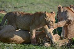 BK0_3291 (b kwankin) Tags: africa lion ndutu serengeti tanzania