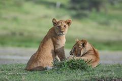 BK0_2262 (b kwankin) Tags: africa lion ndutu serengeti tanzania baby