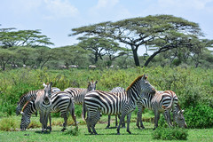BK0_1983 (b kwankin) Tags: africa ndutu serengeti tanzania zebra