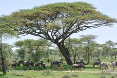 BK0_1931 (b kwankin) Tags: africa flora ndutu serengeti tanzania wildebeest