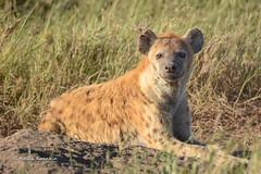 BK0_1625 (b kwankin) Tags: africa hyenaspotted serengeti tanzania