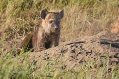 BK0_1616 (b kwankin) Tags: africa hyenaspotted serengeti tanzania baby