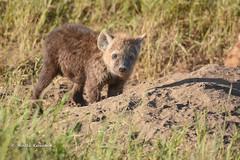 BK0_1615 (b kwankin) Tags: africa hyenaspotted serengeti tanzania baby