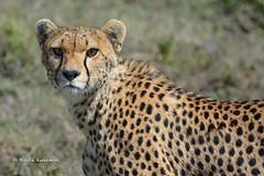 BK0_1353 (b kwankin) Tags: africa cheetah serengeti tanzania