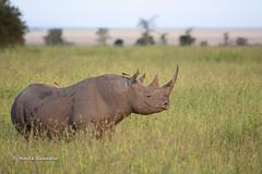 BK0_1129 (b kwankin) Tags: africa oxpecker rhinocerousblack serengeti tanzania