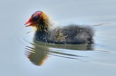 Young Coot (earlyalan90 away awhile) Tags: young coot waterfowl bird avian ornithology birding washington wwt tyne wear wetlands photography nature nikon d800 zoom lens uk