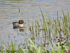 Teal (LouisaHocking) Tags: marazion cornwall wild wildlife nature southwest british england bird waterfowl wildfowl teal duck