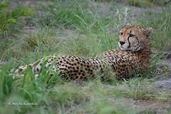 BK0_6621 (b kwankin) Tags: africa cheetah ruahanationalpark tanzania