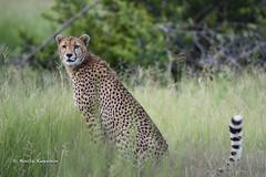 BK0_6523 (b kwankin) Tags: africa cheetah ruahanationalpark tanzania