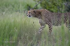 BK0_6428 (b kwankin) Tags: africa cheetah ruahanationalpark tanzania