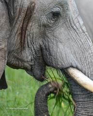 BK0_6311 (b kwankin) Tags: africa elephant ruahanationalpark tanzania