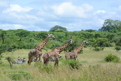 BK0_6086 (b kwankin) Tags: africa giraffe ruahanationalpark tanzania