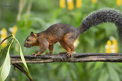 Vareigated Squirrel (featherweight2009) Tags: variegatedsquirrel sciurusvariegatoides treesquirrel squirrels mammals rodents animals