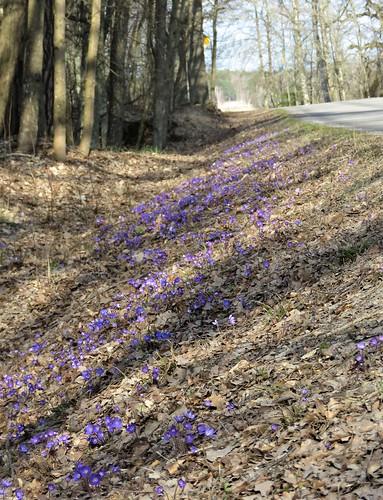Sinivuokon värjäämä tien vieri / Blue coloring of the roadside