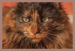DSC04694 Easy Portrait (Olpo2vin) Tags: cat chat yeux eyes regard look félin feline olpo easy poils fourrure redessan 30129 animaldecompagnie vibrisses
