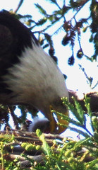 Mom BE feeding BE chick (Scott Severn) Tags: bald eagles
