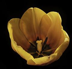 Orange Tulip Going Solo (Bill Gracey 23 Million Views) Tags: tulip fleur flower flor homestudio blackbackground offcameraflash yongnuo yongnuorf603n softbox color glowing backlighting backlit colorful roguegrid floralphotography macrolens