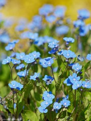 Forget-me-not (damianziel) Tags: lumix lumixg lumixg80 panasonic panasoniclumixdmcg80 panasoniclumixg mirrorless micro43 microfourthirds mft prime primelens nature natural naturephotography naturaleza spring flowers flower bokeh colours color colorful 200mm tamron200mmf35 adaptall tamronadaptall tamron04b
