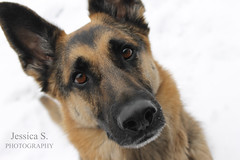 German Shepherd (jessicasview) Tags: german shepherd shepherds dog dogs puppies puppy pet pets animal animals paws paw snow cold winter
