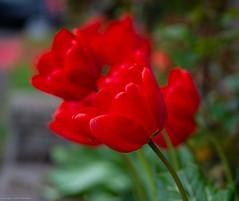 Tulips (nebulous 1) Tags: tulips seattle wa washington red flower flora flowers florae nikon nebulous1 glene