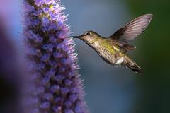 Sweet Light (Patricia Ware) Tags: annashummingbird birdsinflight california calypteanna canon ef400mmf4doisiiusmlens handheld losangeles playadelrey prideofmadeira ©2019patriciawareallrightsreserved playavista unitedstatesofamerica specanimal