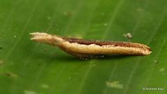 Micro Moth (Ecuador Megadiverso) Tags: andreaskay ecuador microlepidoptera moth