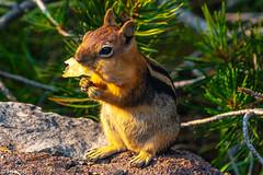 _FOU6312.jpg (Murray Foubister) Tags: 2018 summer oregon mammals travel usa
