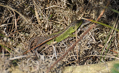 Courting Sand Lizards (Lacerta agilis) (Sky and Yak) Tags: lizard reptile reptilesandamphibians uklizards uk herpetology herp nature naturalworld dorset lacerta lacertaagilis agilis pair courting mating