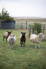 My sisters sheep on Castle Forbes Road, Castle Forbes Bay (gavirvine76) Tags: farm sheep tasmania australia animals