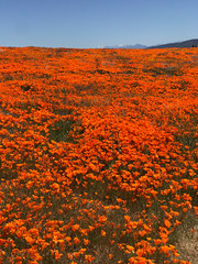 IMG_0336.jpg (The City Project) Tags: poppy landwaterconservationfund antelope preserve flowers superbloom valley lancaster ca