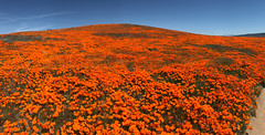 IMG_0335.jpg (The City Project) Tags: poppy landwaterconservationfund antelope preserve flowers superbloom valley lancaster ca