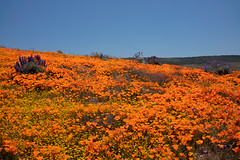 20190413 super bloom rg 139882.jpg (The City Project) Tags: poppy landwaterconservationfund preserve superbloom antelope valley lancaster ca