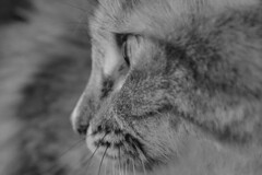 Frida cerquita (Farfallina2775) Tags: cat cats cinnamon frida kitten