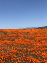 IMG_0338.jpg (The City Project) Tags: poppy landwaterconservationfund antelope preserve flowers superbloom valley lancaster ca